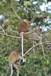 RS14443__CDG0549A Proboscis monkey-scr (1)